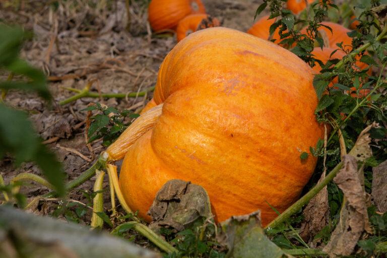 Taywell Pumpkins